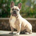 Bench voor Franse Bulldog [Koopadvies]